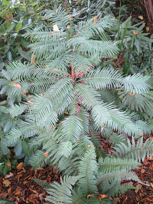 Wollemia nobilis (Wollemie)
