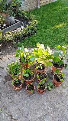 De pannenkoekenplant