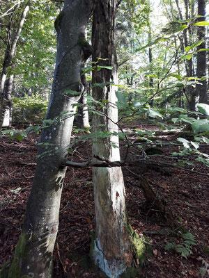 Zu einem gesunden Wald gehören neben lebenden auch abgestorbene Bäume. Foto: Carmen Prinz