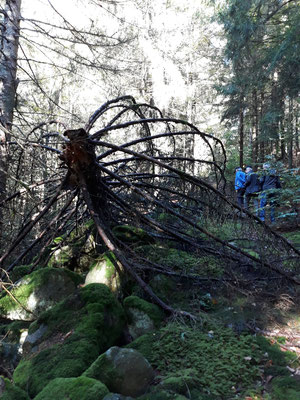 Im LBV-Wald dürfen umgestürzte Bäume liegen bleiben.  Foto: Carmen Prinz