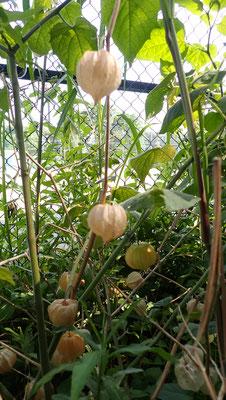 すどう農園から持っていった食用ほうずきも冬を越して種をつけています。