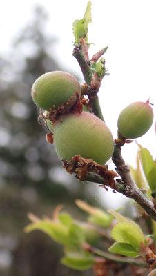 小梅がだいぶ大きくなってきました。販売用の小梅であれば、小さなものを間引いてさらに大きくしますが、すどう農園の小梅は農学校の皆さんと自給用にしているので、間引きの手間をかけずに収穫します。
