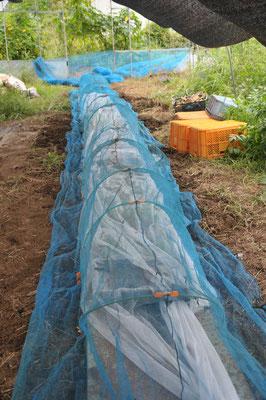 台風に備えて苗を防風ネットで覆います。飛びそうなものはすべて伏せるk亜シートで覆って重しをする。ハウスは両サイドを開けてしまいます。そうしないとハウス事吹き飛ばされるから。