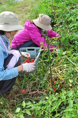 自然農のトマトの収穫