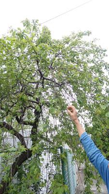 しだれ梅も実がついています。早い。もしかしたら5月に収穫かも。