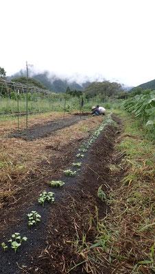 ダイコンは3品種「大蔵」「亀戸」「打木源助」、できればもう一つ春に収穫できる品種をまきたいところ。