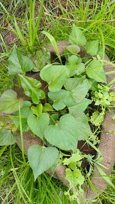 今年もコーヒー袋でサツマイモを栽培しています。国分寺のカフェスローさんから譲っていただいたオーガニックのコーヒー袋。