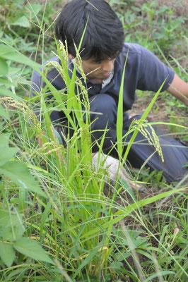 国分寺から分けていただいた古代赤米(陸稲)の収穫