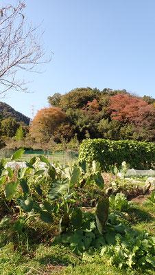 サトイモも収穫を待つ。