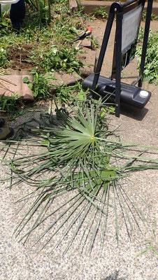 竹を縛るのは、近くに生えているシュロを使います。