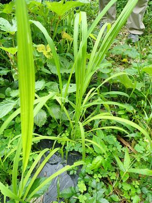 5月に種おろしをした古代米もすくすくと育ってきました。