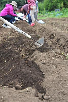 大根は3種類。打木源助、練馬、大蔵それぞれ固定種です。