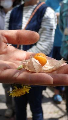 「すどう農園」から持ち込んだ食用ホウズキが冬を越して実をつけています。東京の冬は暖かい。