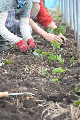 イチゴの苗の定植。