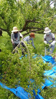 番外編で小梅の収穫も今年は早めですね。今の季節は毛虫がすごい。無農薬ということの意味もリアルに見えてきます。