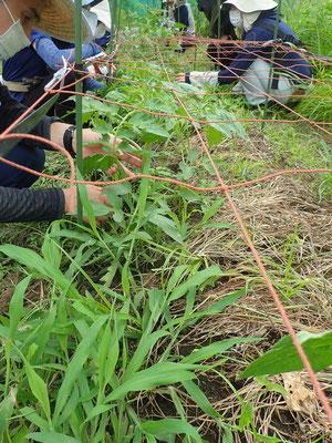 トマトのネット栽培。