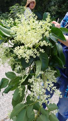 目済みモチの花が満開です。これをたっぷり収穫。あまり知られていませんが、とても貴重な薬樹です。