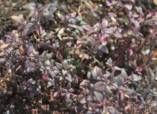 ベルガモットリーフも冬に強い株です。紅葉ならぬ紫葉。