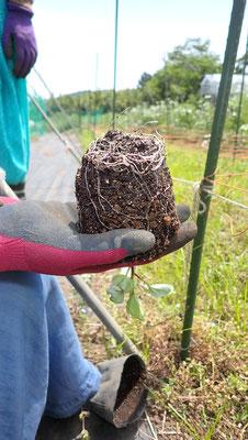 苗の定植のときには必ず根の様子を見る。