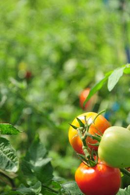 中玉トマト、雨に割れにくい品種を選ぶのも大事です。