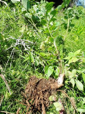 見づらいですが、ウドを掘り出したところです。芽はてんぷらか味噌汁。茎はオーブンで焼いて熱いまま食べてください。