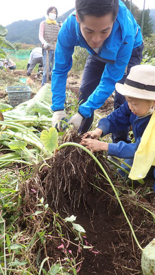 雨の直後のサトイモ掘りは泥が重い。掘ったその場で泥をできるだけ叩き落とさないと、洗うのが大変。