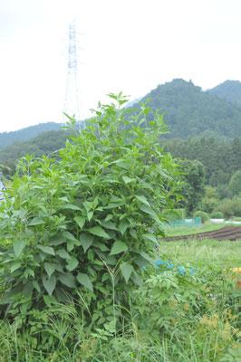 キクイモも9月から収穫です。