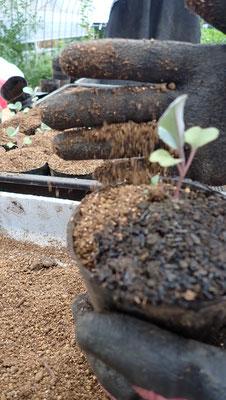 カリフラワーの苗の鉢上げ