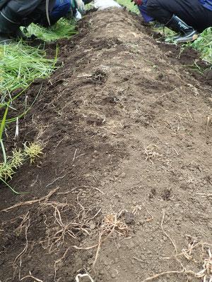 ニンジンの種まき始まりました。太陽熱処理をして雑草の種を退治したところに種をまいていきます。