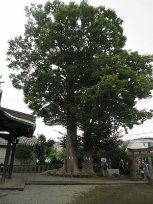春日神社の御神木「けやき」(ニレ科) (多摩市指定天然記念物) 大:目通り 4.5メートル 高さ  約28メートル 小:目通り 3.1メートル 高さ  約20メートル