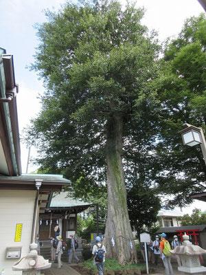 白山神社の御神木「むくのき」(ニレ科)  (多摩市指定天然記念物) 目通り 4.2メートル 高さ 約24.5メートル