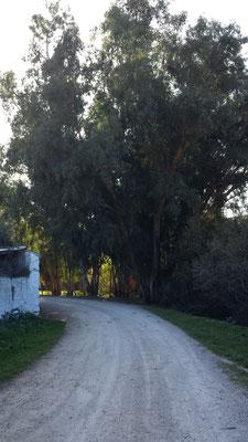 Beeindrucken hohe Eukalyptusbäume wachsen hier überall, wo es Gewässer gibt.