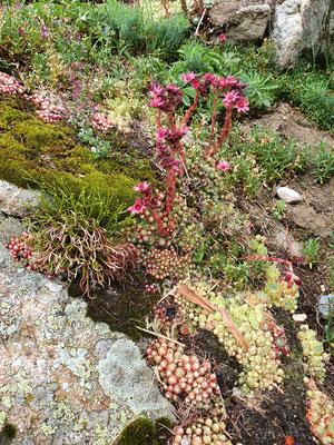 asplenium septentrionale (Nordischer streifenfarn) und Sempervivum arachniodeum (Spinnweb-Hauswurz)
