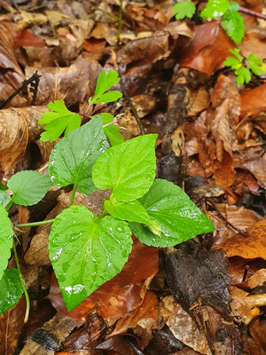 Viola reichenbachiana (Wald-Veilchen)