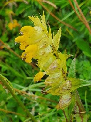 Rhinanthus glacialis (Grannen-Klappertopf)