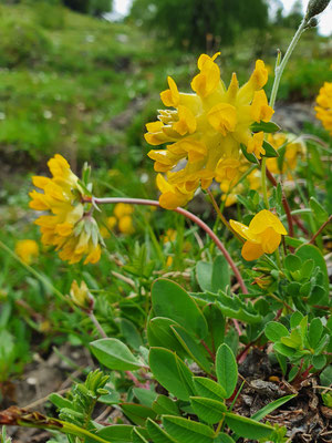Anthyllis vulneraria (Wundklee)