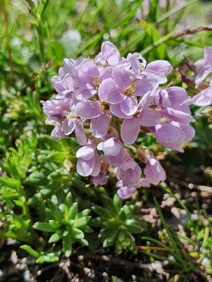 Thlaspi rotundifolium (Rundblättriges Täschelkraut)