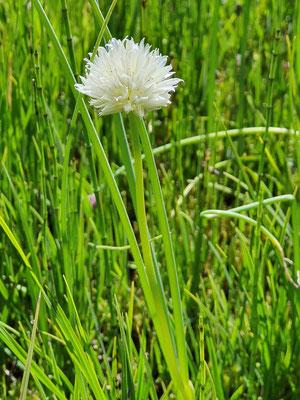 Allium schoenoprasum (Schnittlauch) Albino