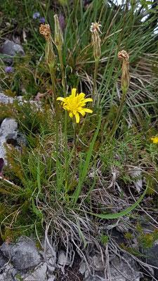 Scorzonera austriaca (Östereichische Schwarzwurzel)