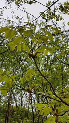 Fraxinus ornus (Blumenesche)