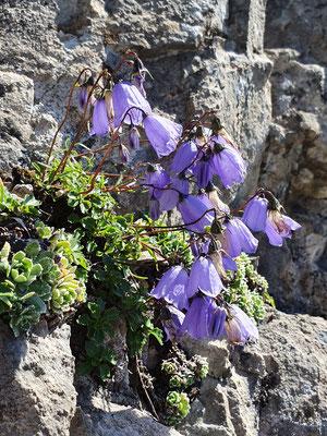 Campanula Cochleariifolia (Niedliche Glockenblume)