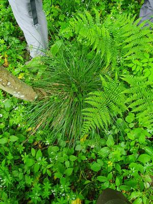 Deschampsia cespitosa (Rasen-Schmiele)