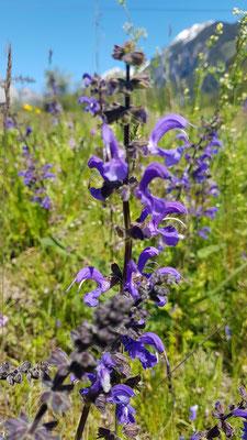 Salvia pratensis (Wiesensalbei)