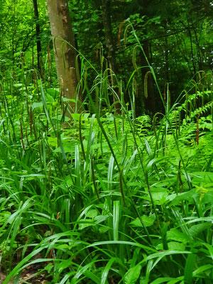 Carex pendula (Hänge-Segge)