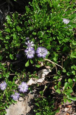 Globularia cordifolia ( Herzblättrige Kugelblume)
