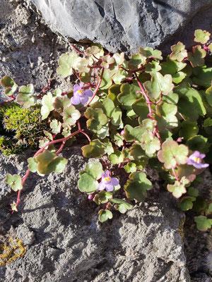 Cymbalaria murorum (Zimbelkraut)