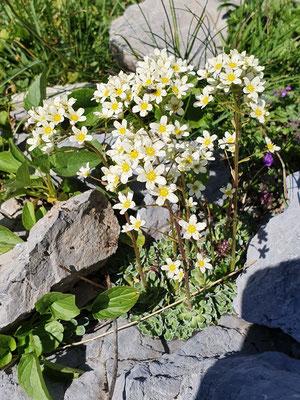 Saxifraga paniculata (Trauben-Steinbrech)