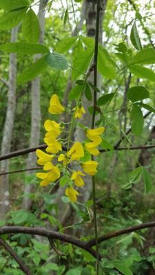 Laburnum anagyroides (Gemeiner Goldregen)