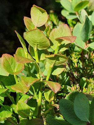 Vaccinium mytillus (Heidelbeere)