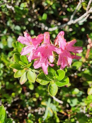 Rhododendron hirsutum (Bewimperte Alpenrose)